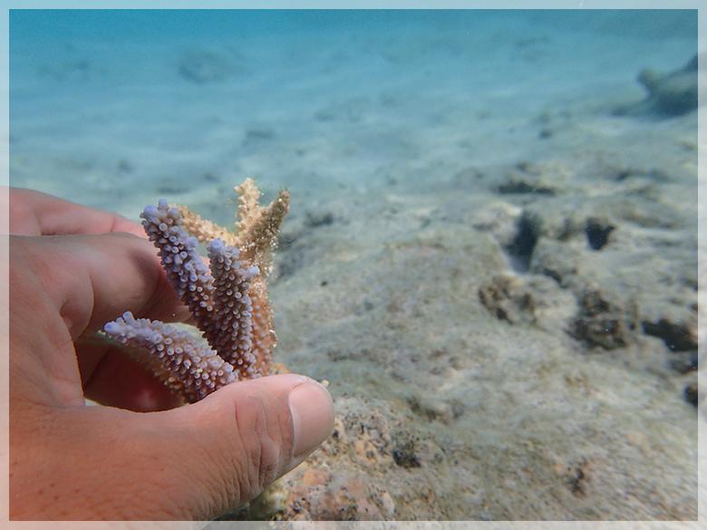 サンゴの苗作り&養殖体験コース2